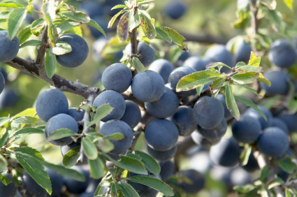 sloes prunus spinosa