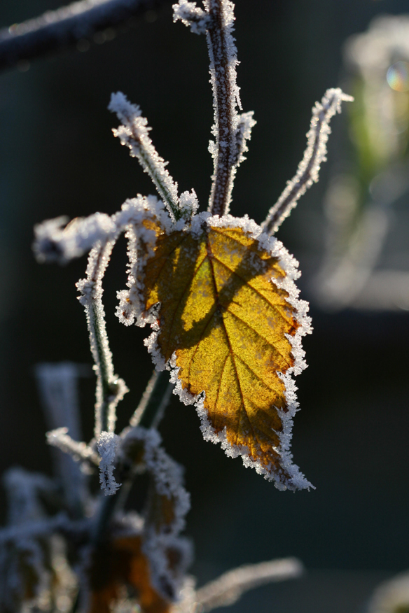 Frosty raspberry leaf backlit by sunshine