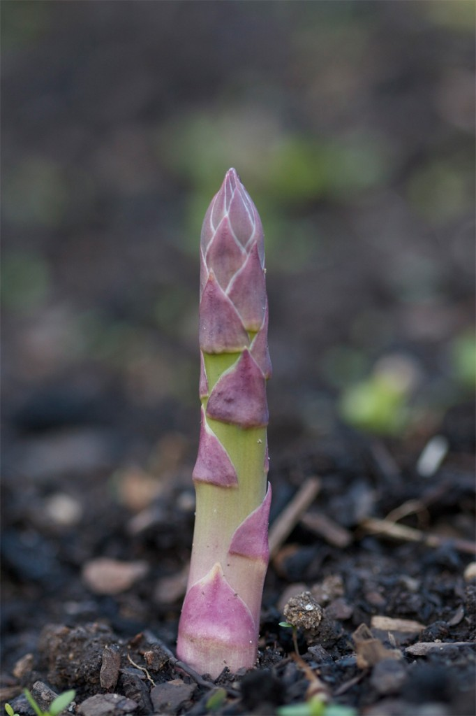 Homegrown asparagus tip