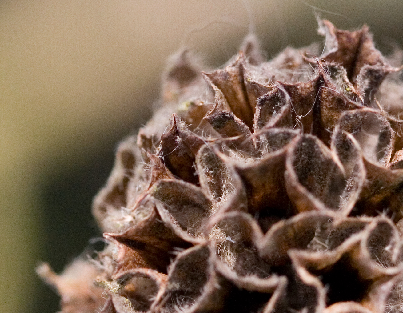 close up of a dead seed head