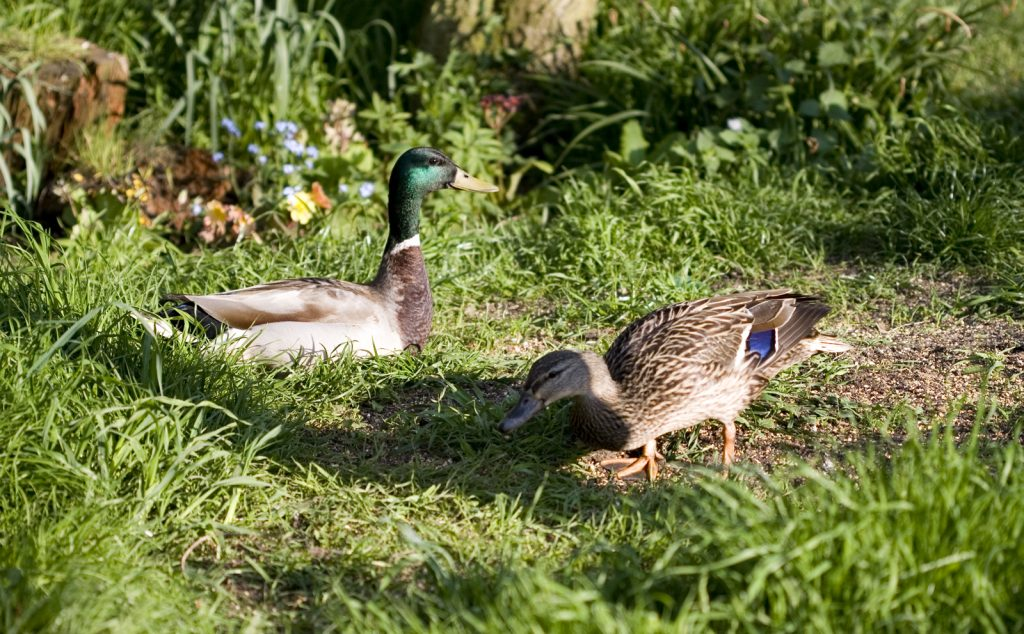 Mallard ducks - The Smallest Smallholding