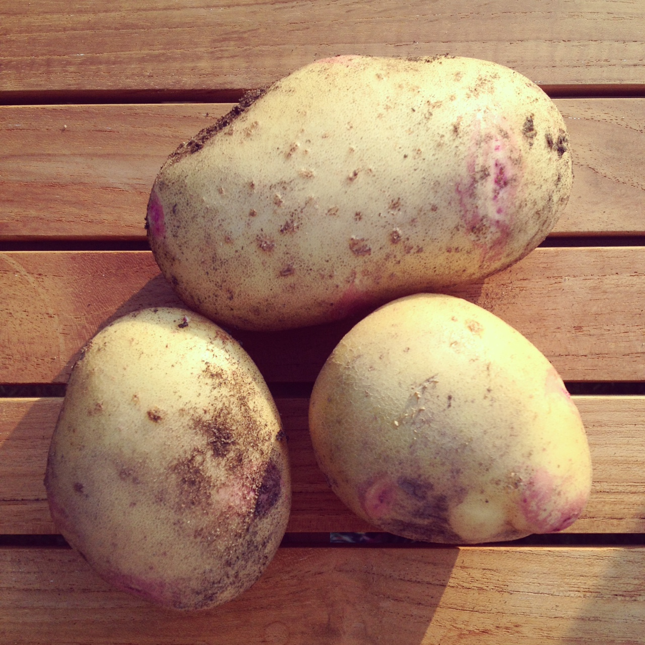 Picasso main crop potatoes