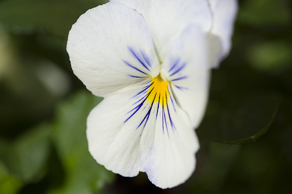 Pansy Cool Wave Selection