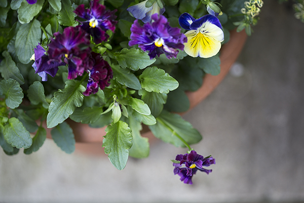 Pansies for winter colour