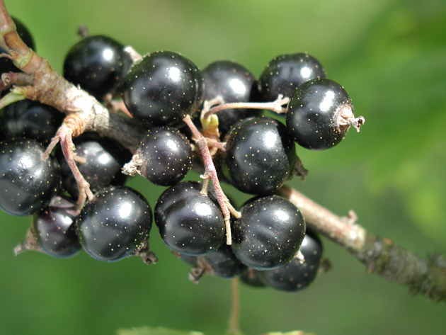 Blackcurrants - grow your own
