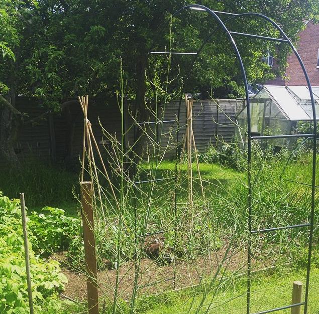 Squash arch in the garden