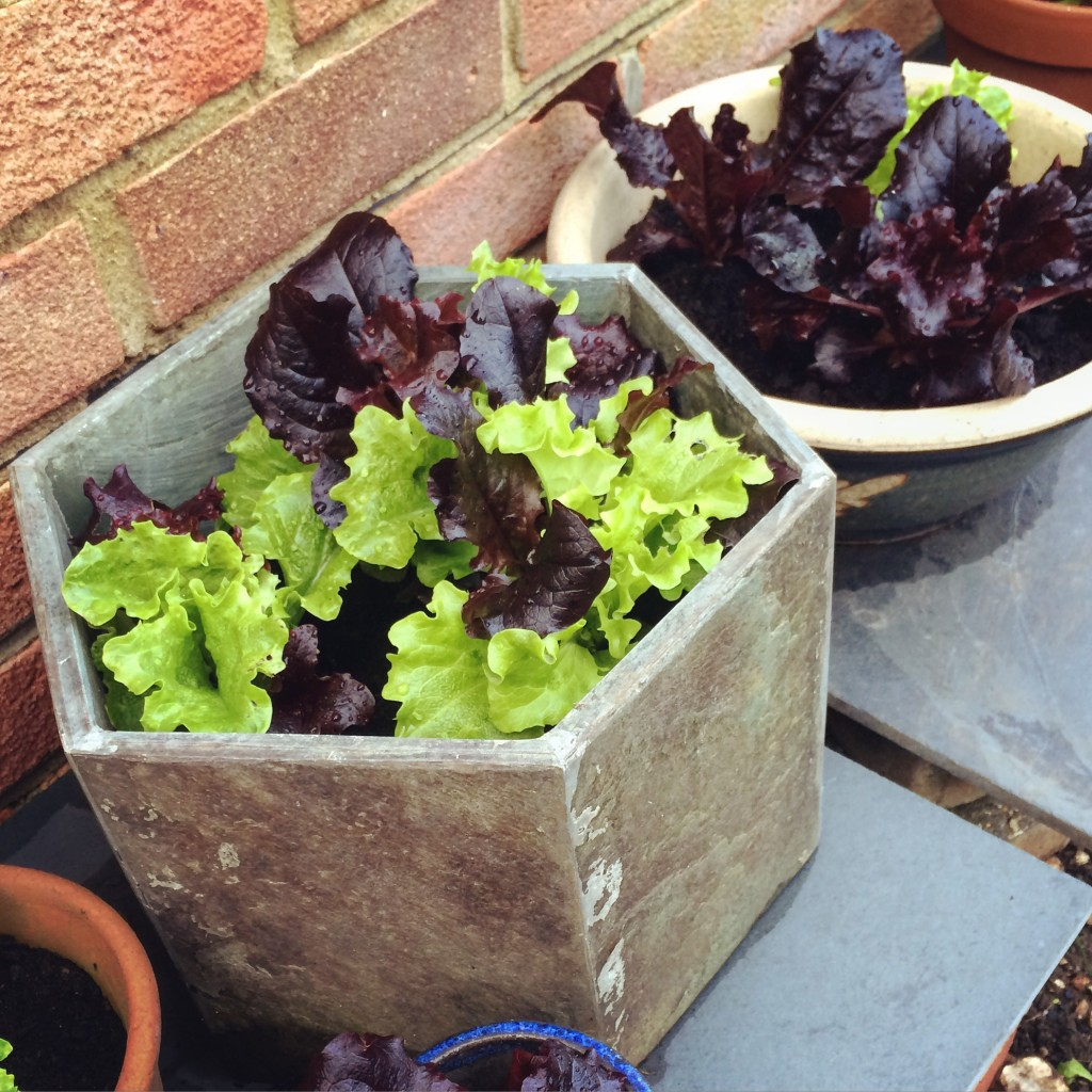 lettuces in container