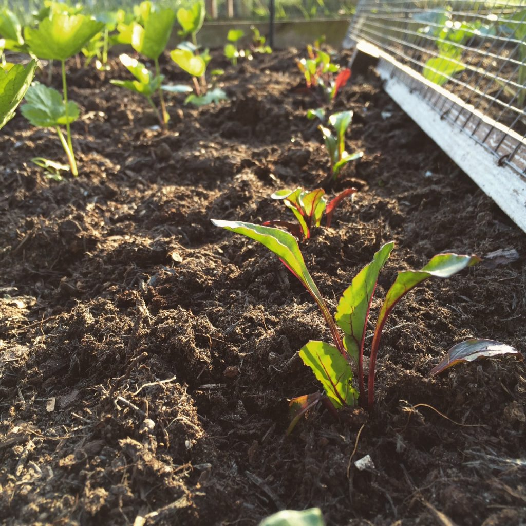 Beetroot interplanting
