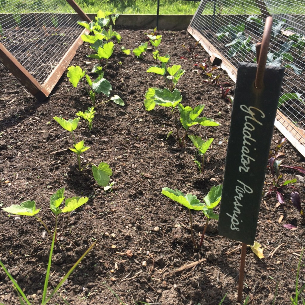 Space between parsnips for interplanting