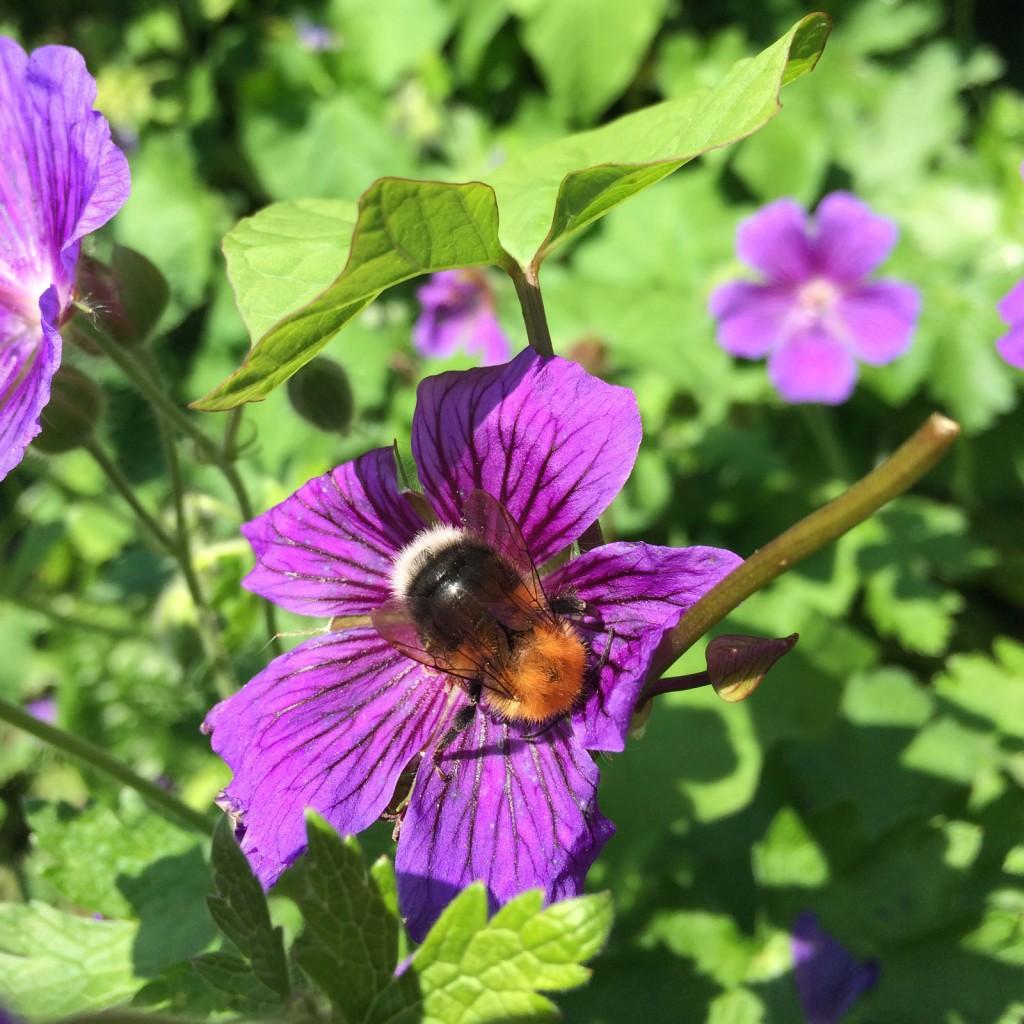 Bumble bee enjoying a geranium