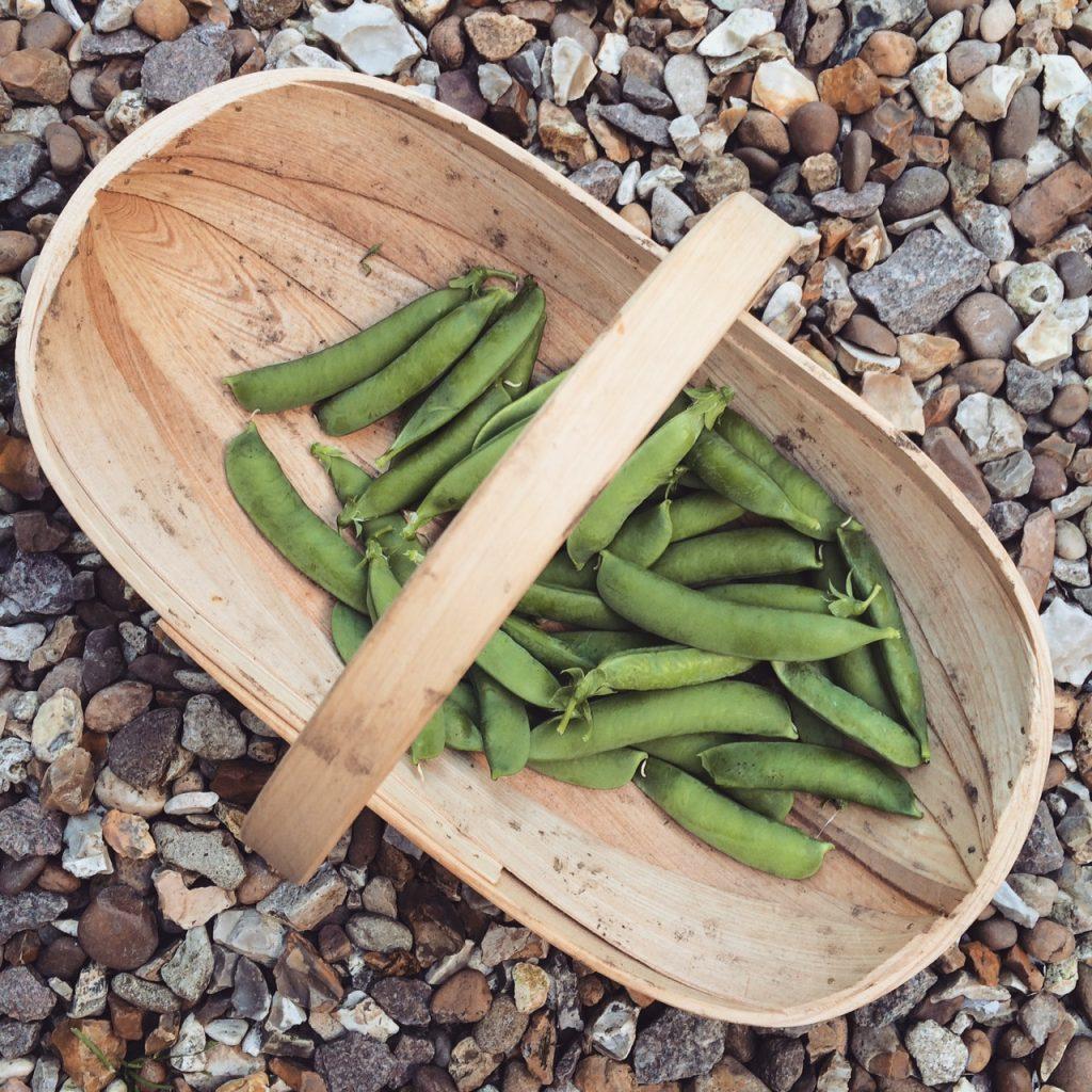 harvesting pea pods