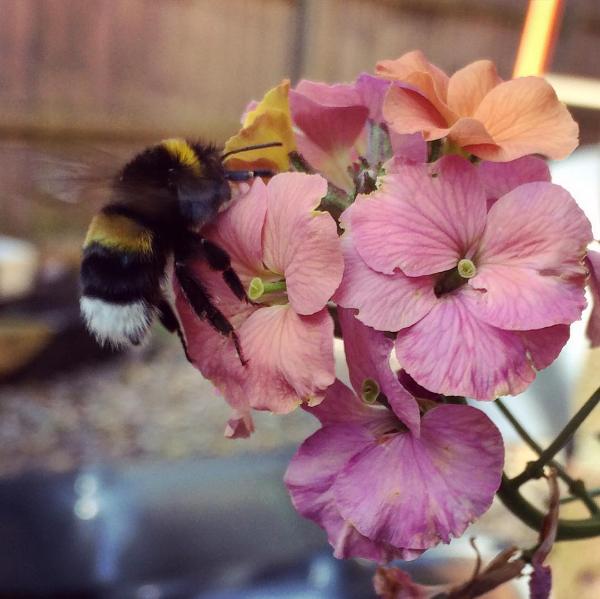 Bee on perennial wallflower