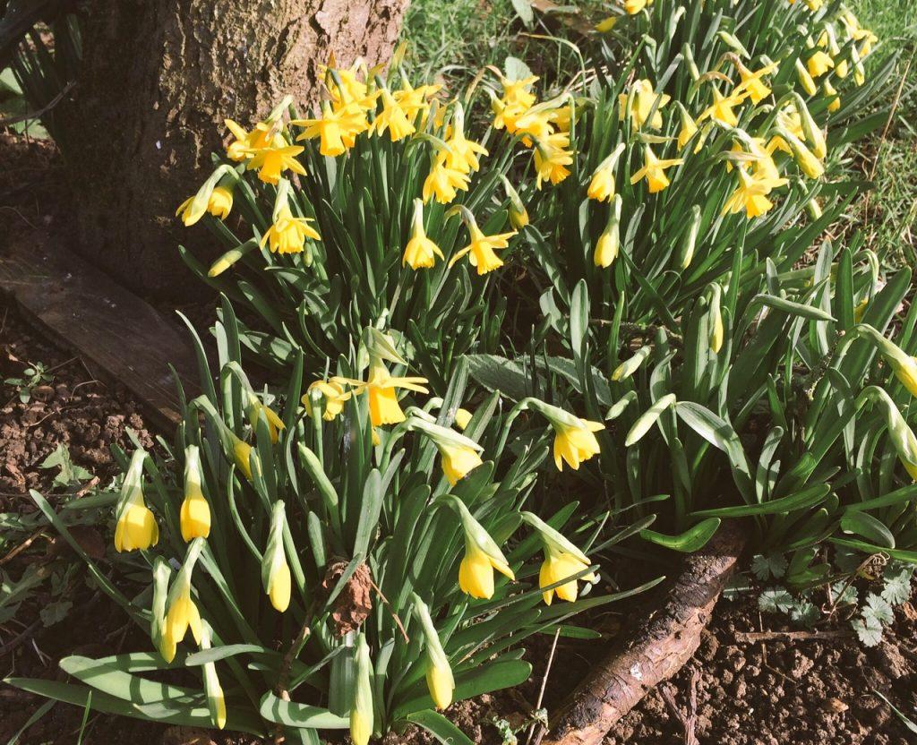 Dwarf daffodils in spring