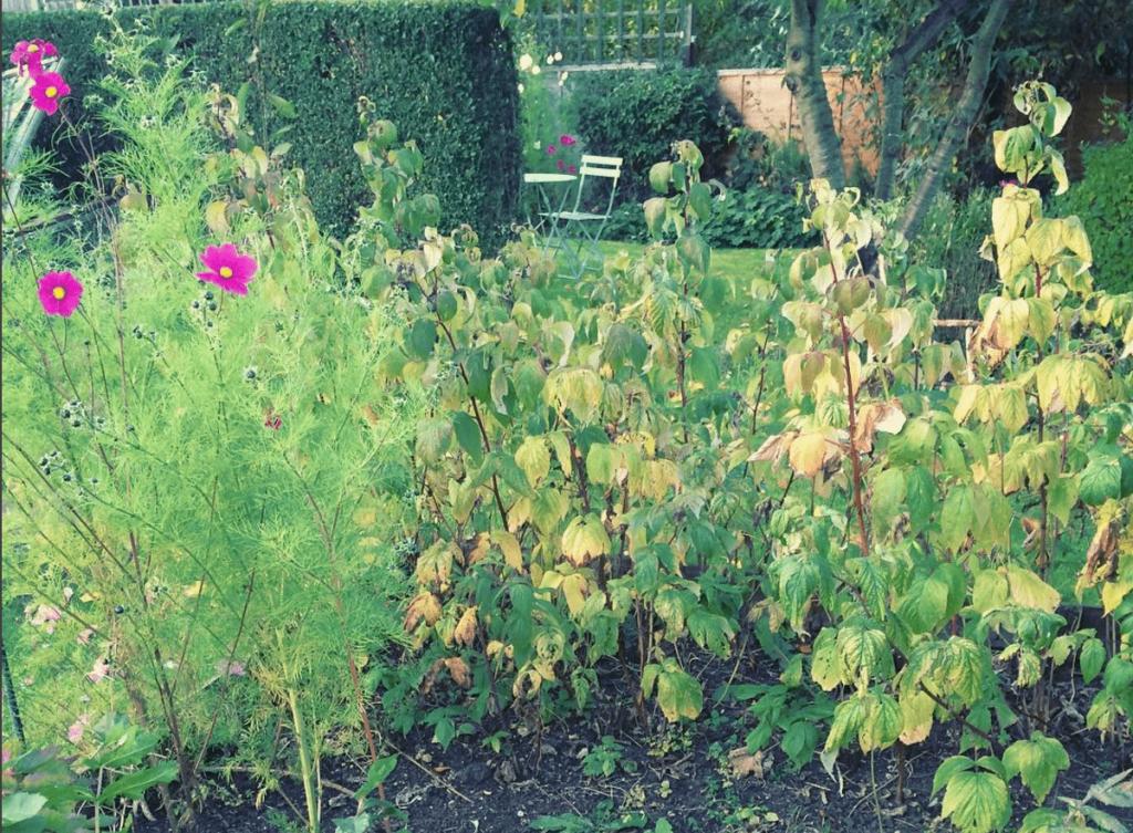 Yellowing leaves on raspberries