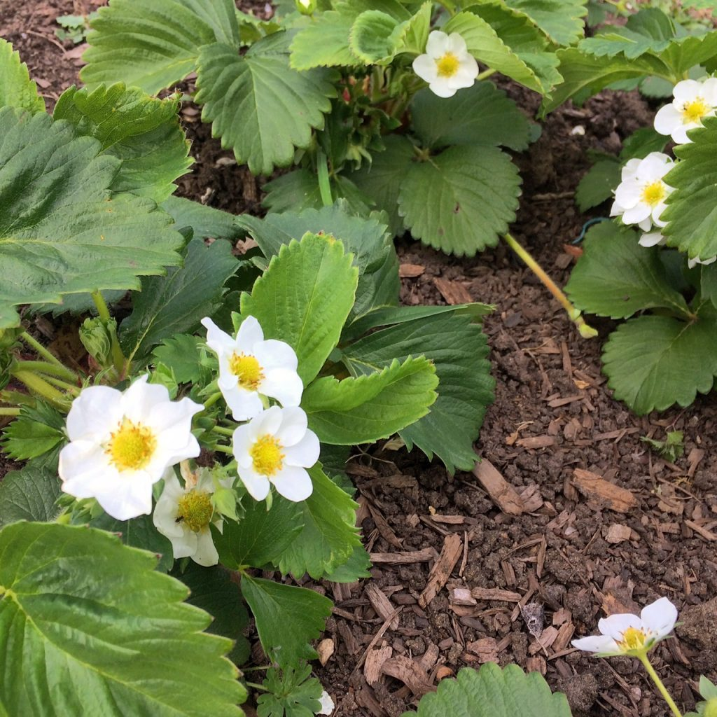 Cambridge Favourite strawberry plants