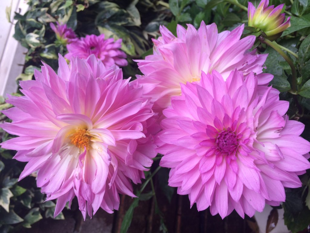 Large pink dahlia flower